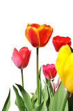 Tulips of various colors isolated on white Royalty Free Stock Images