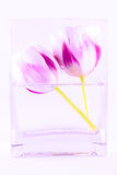 Tulips in a vase Royalty Free Stock Photo