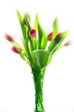 Tulips in vase isolated Royalty Free Stock Images