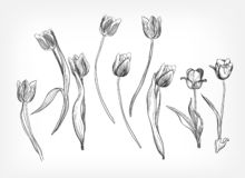 Tulips vector design elements simple sketch isolated royalty free illustration