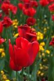 Tulips-4 vermelho Imagens de Stock