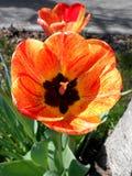 Tulips Vermelho-Amarelos Fotos de Stock