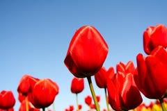 Tulips vermelhos Fotos de Stock Royalty Free