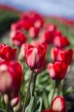 Tulips vermelhos Imagem de Stock