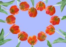 Tulips vermelhos imagem de stock royalty free