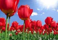 Tulips vermelhos Fotografia de Stock