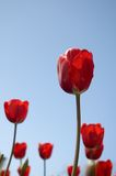 Tulips vermelhos Fotografia de Stock Royalty Free