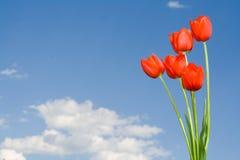 Tulips vermelhos Imagens de Stock