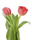 Tulips vermelhos Imagens de Stock Royalty Free