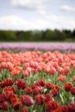 Tulips vermelhos, alaranjados, roxos em um campo Foto de Stock