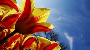 Tulips vermelhos amarelos brilhantes Foto de Stock Royalty Free