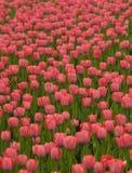 Tulips vermelhos bonitos. imagem de stock royalty free