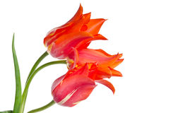 Tulips vermelhos bonitos Imagem de Stock