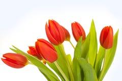 Tulips vermelhos bonitos no fundo branco Imagens de Stock