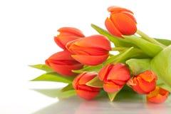 Tulips vermelhos bonitos no fundo branco Imagens de Stock Royalty Free