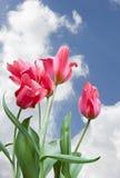 Tulips vermelhos de encontro ao céu azul vívido Imagens de Stock Royalty Free