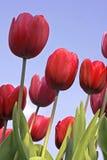Tulips vermelhos de encontro a um céu azul Foto de Stock
