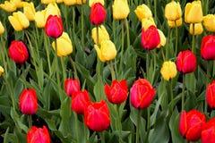 Tulips vermelhos e amarelos imagens de stock royalty free