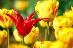 Tulips vermelhos e amarelos Fotografia de Stock Royalty Free