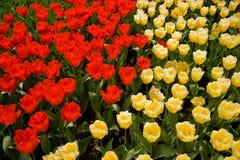 Tulips vermelhos e amarelos Fotos de Stock Royalty Free