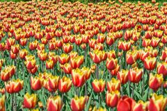 Tulips vermelhos e amarelos bonitos fotos de stock royalty free