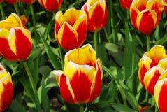Tulips vermelhos e amarelos da flama   fotos de stock royalty free