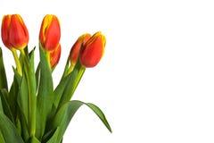 Tulips vermelhos e amarelos frescos no fundo branco Fotografia de Stock Royalty Free