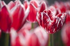 Tulips vermelhos e brancos Fotografia de Stock Royalty Free