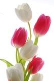 Tulips vermelhos e brancos Foto de Stock Royalty Free