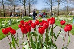 Tulips vermelhos em jardins de Keukenhof Imagens de Stock Royalty Free