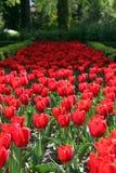 Tulips vermelhos em toda parte Imagem de Stock Royalty Free