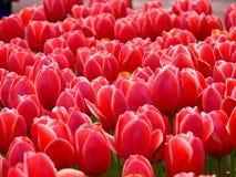 Tulips vermelhos em um parque fotografia de stock