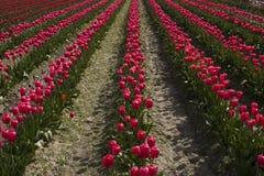Tulips vermelhos em uma fileira Foto de Stock Royalty Free