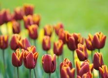 Tulips vermelhos, foco muito raso Fotos de Stock Royalty Free