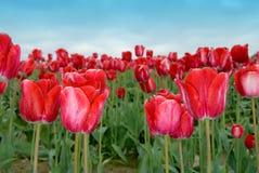 Tulips vermelhos gelados Imagem de Stock