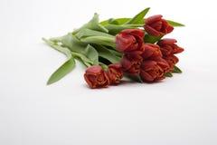 Tulips vermelhos holandeses Imagem de Stock Royalty Free