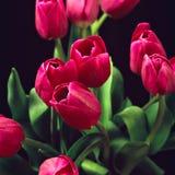 Tulips vermelhos II Imagens de Stock
