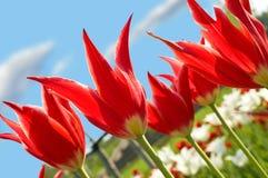 Tulips vermelhos no céu azul do fundo Fotografia de Stock Royalty Free