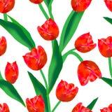 Tulips vermelhos no fundo branco Fotos de Stock Royalty Free