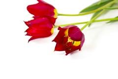 Tulips vermelhos no fundo branco Fotos de Stock