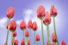 Tulips vermelhos no fundo do céu azul Fotografia de Stock