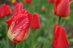 Tulips vermelhos no jardim fotografia de stock