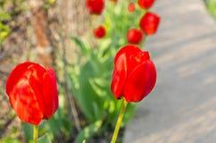 Tulips vermelhos no jardim imagens de stock