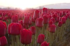 Tulips vermelhos no nascer do sol Fotos de Stock Royalty Free