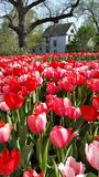 Tulips. Vertical image of a ring of beautiful red tulips surrounding a fountain with a stately white house in the background. Image taken at the tulip festival stock photography