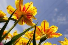 Tulips Victoria Royalty Free Stock Photo