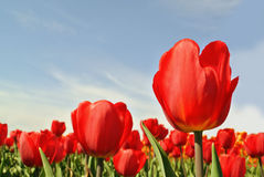 Tulips. View of red tulips flowers under sunlight. Summer or spring field background Stock Photo