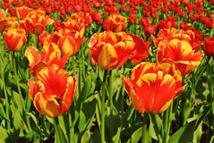 Tulips. View of red with yellow tulips flowers under sunlight. Summer or spring field background. Tulips field. View of red with yellow tulips flowers under Royalty Free Stock Image