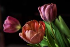 Tulips VII8 Royalty Free Stock Photo