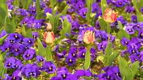 Tulips between violas. Beautiful tulips between violas in garden. Filmed in full HD